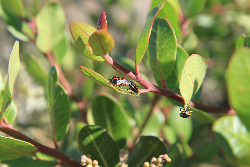Lemonadeberry, Rhus integrifolia with mating beetles.