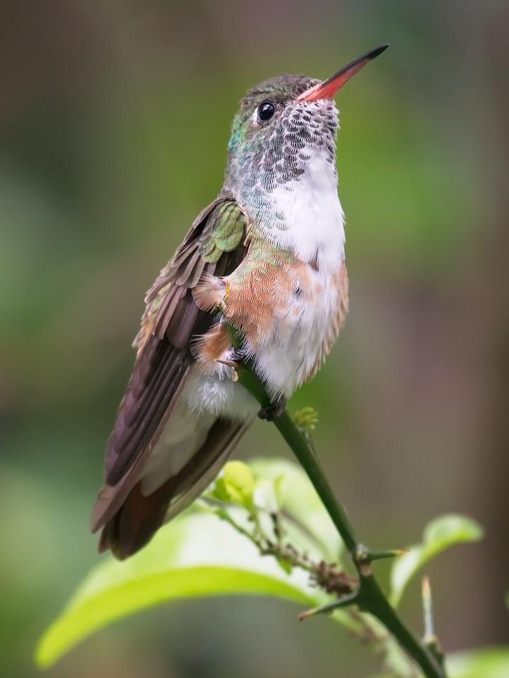 White-Necked Jacobin Hummingbird, female (Florisuga mellivora).