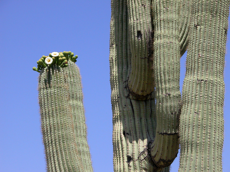 Blooming Saguaro Cat Peaks Trail.jpg