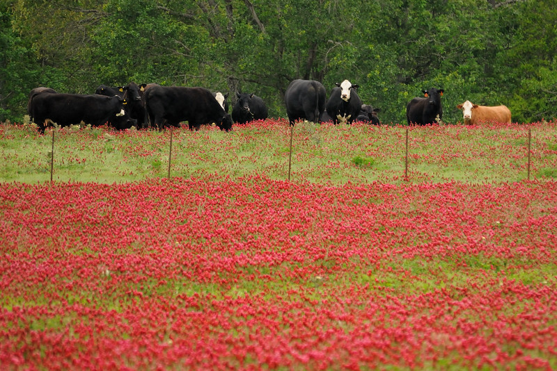 "A little more crimson clover--throw in some cows and we're ""happy happy happy."""