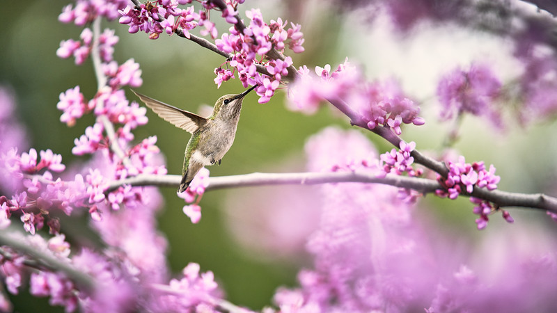 Humming Bird and Eastern Redbuds