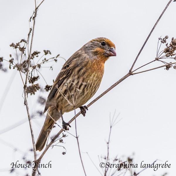 _DSC2558House Finch.jpg