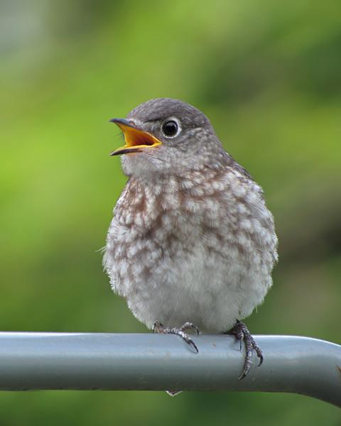 sx30_bluebird_fledgling_084.jpg