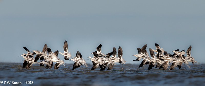 Avocet Takeoff.jpg