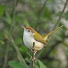 Common Tailorbird (Orthotomus sutorius) in a bush in Ranthambhore national park