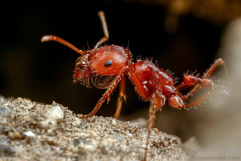 Pogonomyrmex californicus