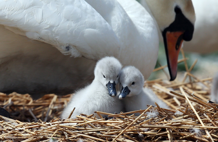 . Two recently hatched cygnets sit with their mother  at Abbotsbury Swannery on May 23, 2013 near Weymouth, England.  (Photo by Matt Cardy/Getty Images)