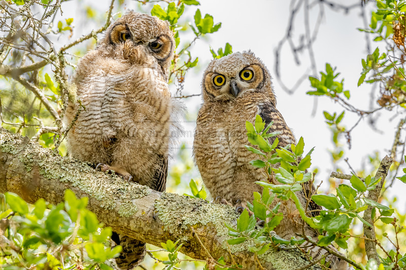 A Pair of Great Horned Owl Owlets