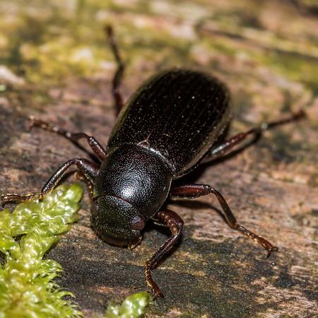Darkling beetles (Tenebrionidae)