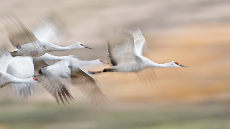 Sand Hill Cranes In-Flight #3