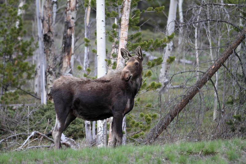 Togwotee Moose.jpg