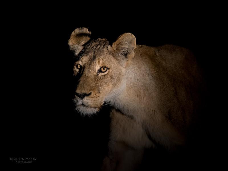 African Lion, Sabi Sands (EP), SA, Sept 2015-3.jpg