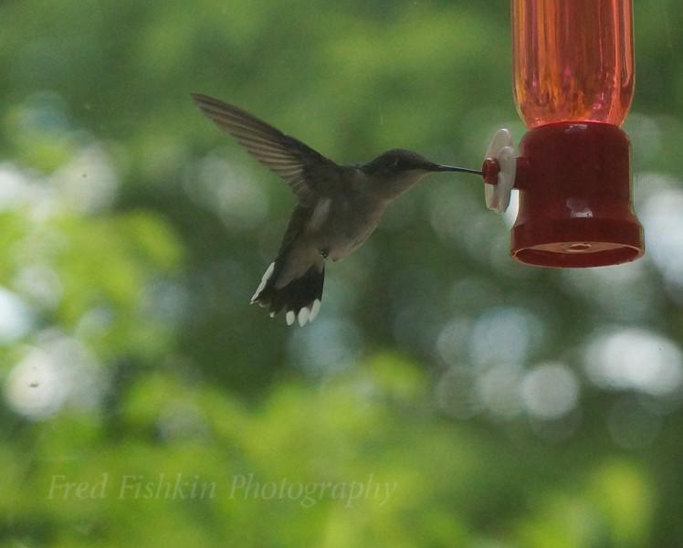 hummingbird high speed.jpg