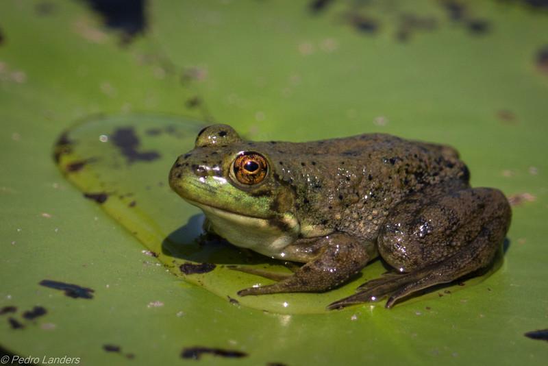 Bullfrog on Lily Pad