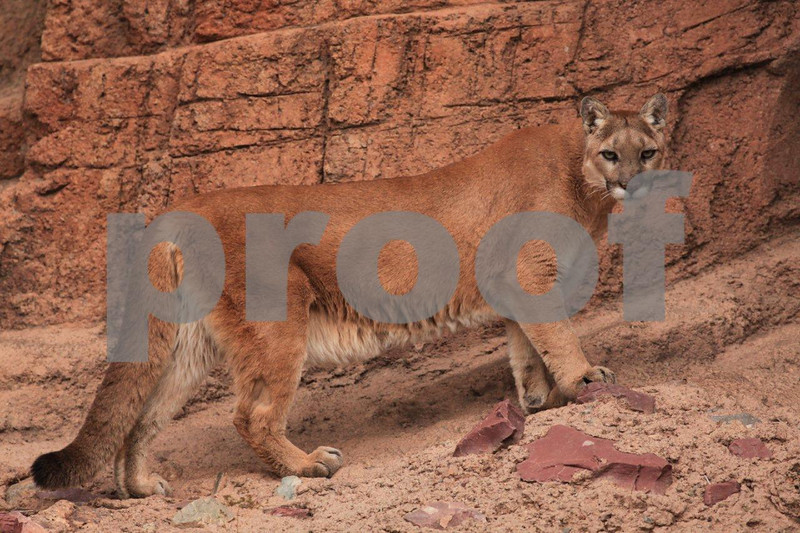 Cougar 6720.jpg
