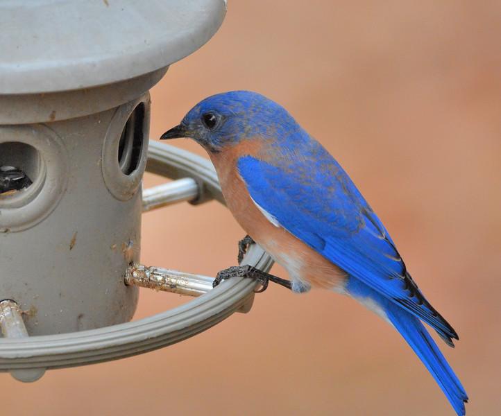 2016 xmas blue bird profile.jpg
