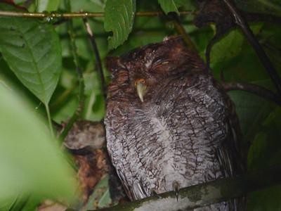 Central American Screech-Owl (Megascops vermiculatus)