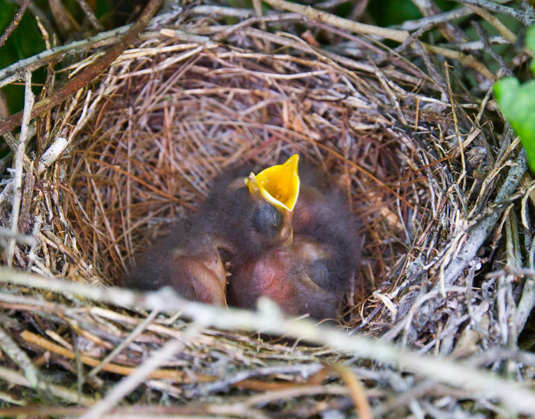 baby mockingbirds