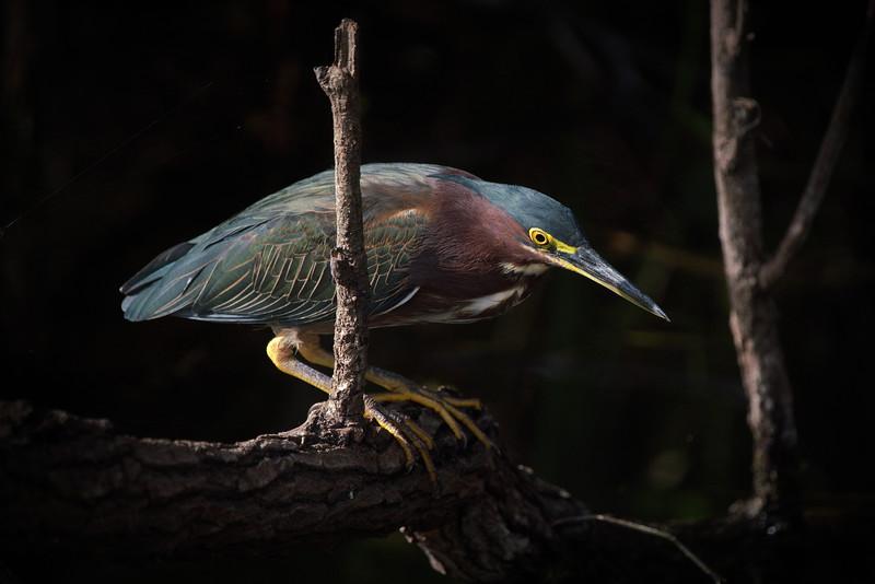 Everglades National Park, Florida, Green Heron, Shark Valley