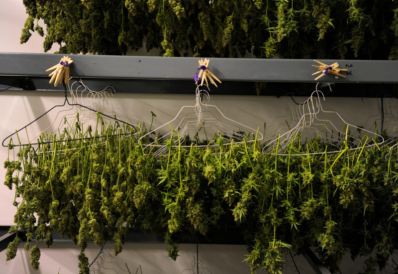 . Recently trimmed plants hang in the drying room at Denver Relief. Kayvan Khalatbari owns Denver Relief, a marijuana  growing, dispensary, and consulting business. Khalatbari and his employees are  meticulous in their marijuana cultivation from start to finish and says the process takes constant care and vigilance by anyone considering growing the plant. (Photo By Kathryn Scott Osler/The Denver Post)