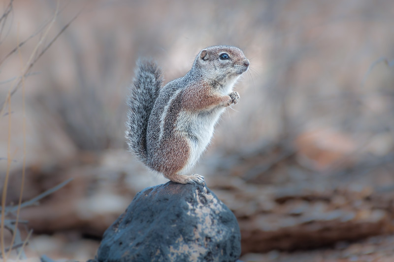 Harris's Antelope Squirrel #3