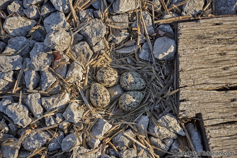 Killdeer-eggs-nest-railroad-tracks-Canton-highlights.jpg