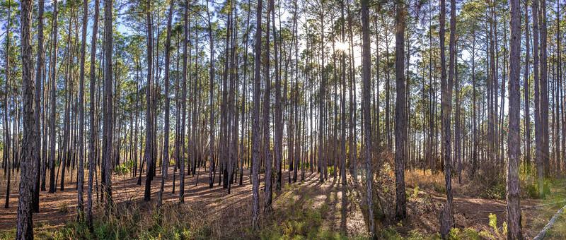 Pine plantation at Split Oak Forest