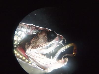 Bioluminescent Predators