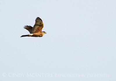 Oklahoma Hawks-Vultures