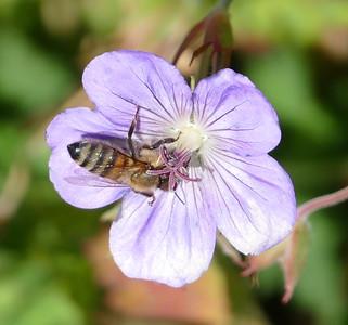 07_22_2016_neighborhood walk - Bees!