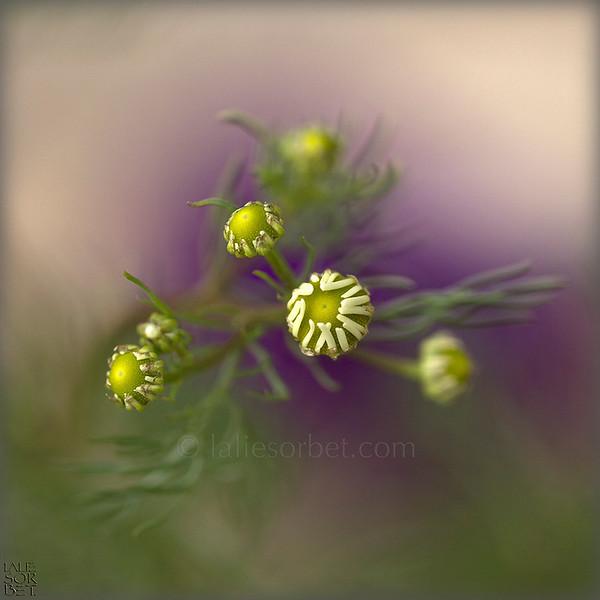 The impressionnist softness of a daisies bouquet on the wadded background of purple flowers. La douceur impressionniste d'un bouquet de marguerite sur un fond ouaté de pensées violettes.