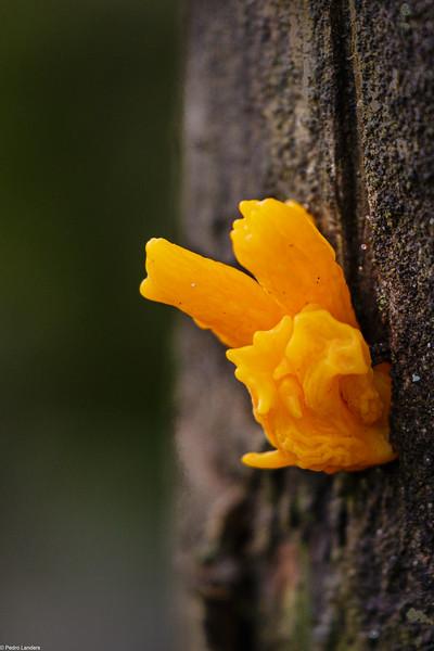 Yellow Brain Fungus