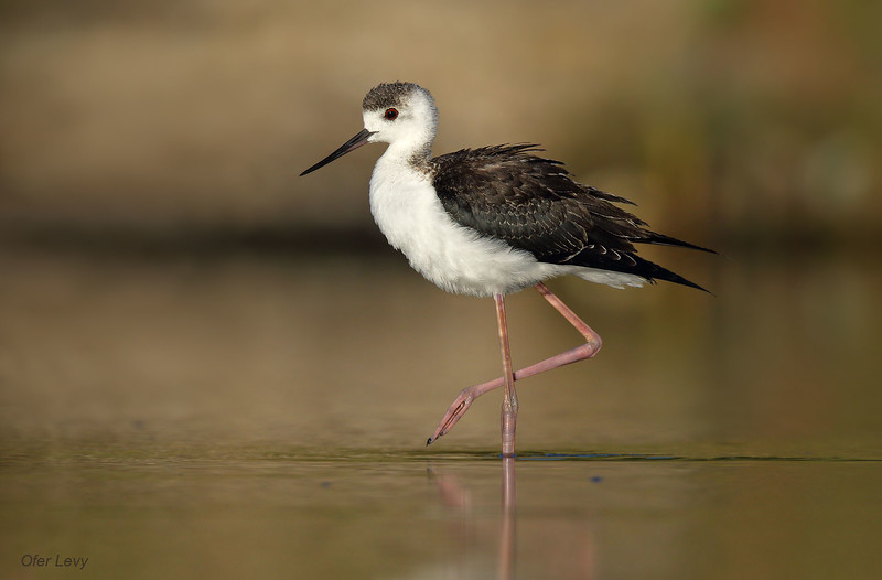Black-winged Stilt juv 2 MASTER.jpg