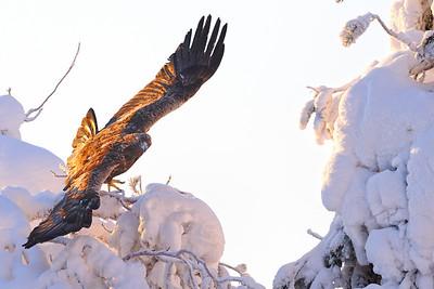 Golden Eagles, Oulanka, Finland 2011