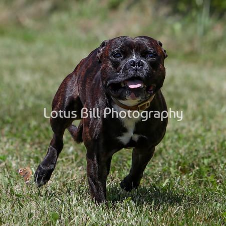 American Staffordshire Terrier SR
