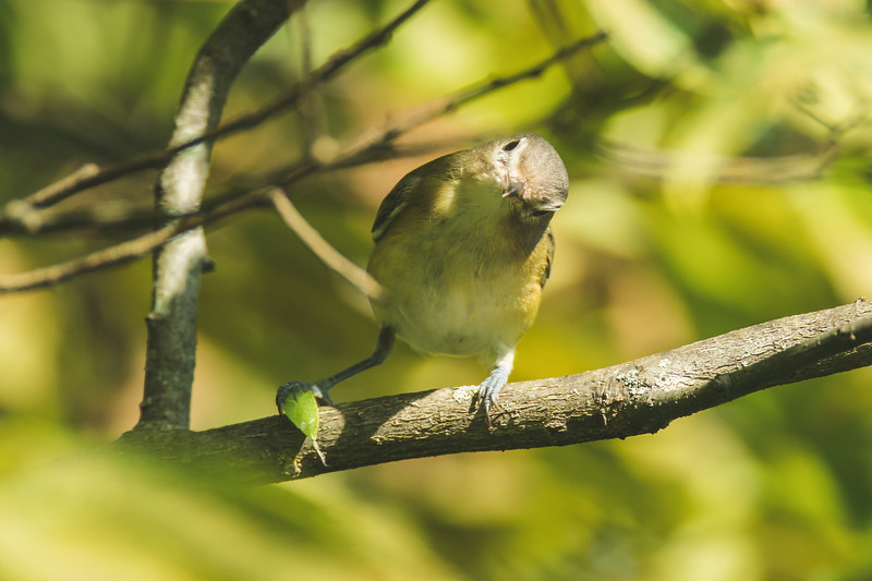 A Philadelphia Vireo at the Celery Bog in West Lafayette, Indiana.