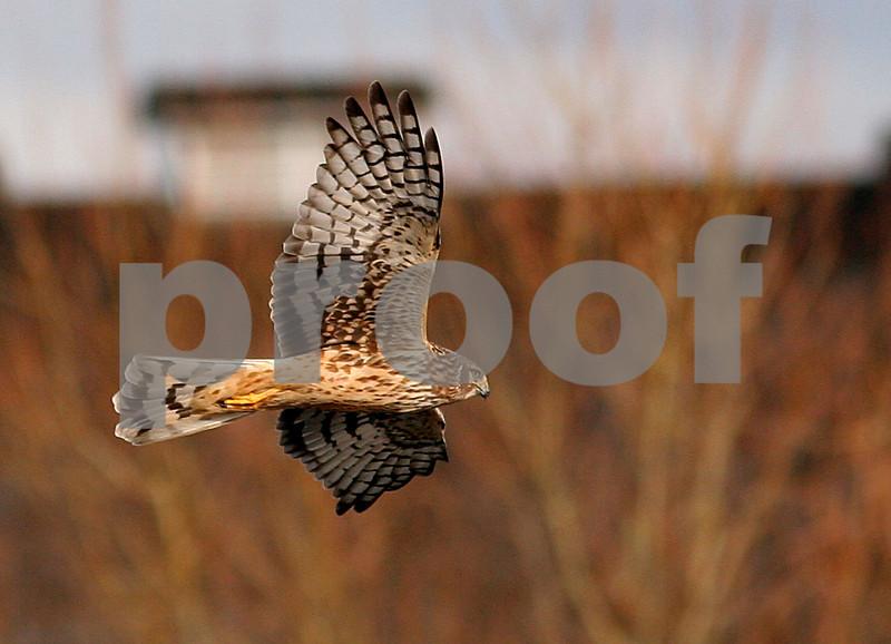 Northern harrier 4306crop1.jpg