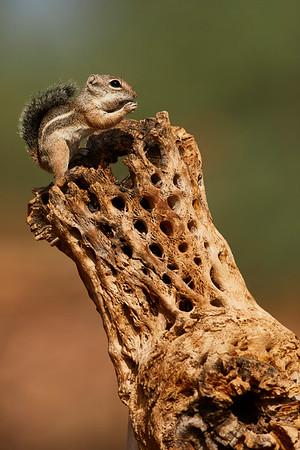 Harri's Antelope Ground Squirrel
