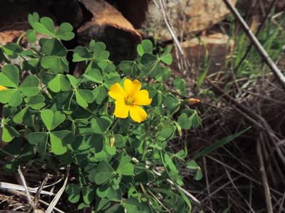California Woodsorrel (Oxalis californica)