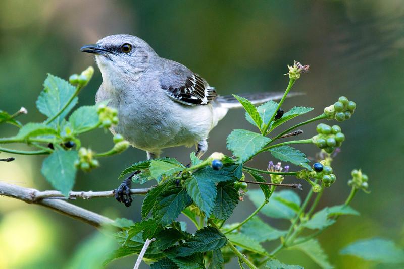Another Mockingbird in the lantana.