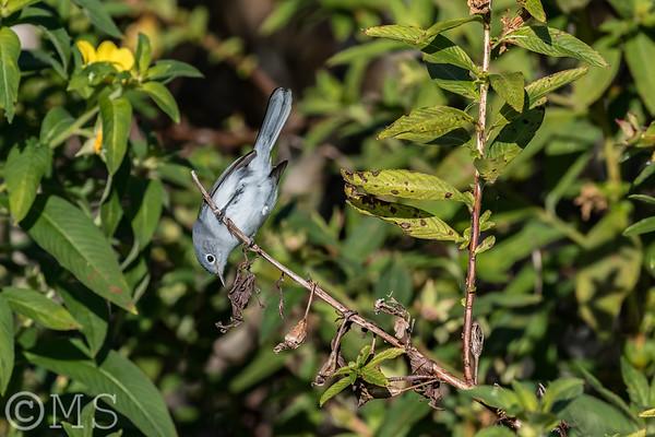 Blue-gray Gnatcatcher Image Gallery