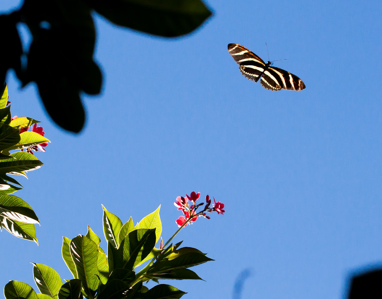 zebra longwing flight