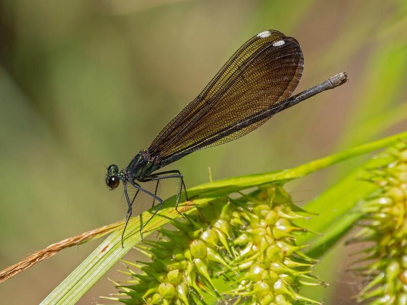 Ebony Jewelwing (Calopteryx maculata), female