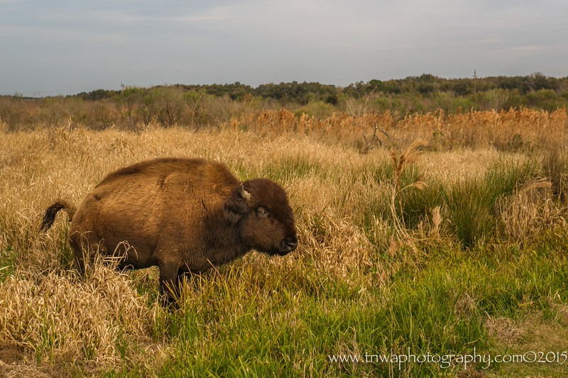 Wild Bison Roam Freely Paynes Prairie National Wildlife Refuge Alachua, Florida © 2015  TNWA Photography / Debbie Tubridy