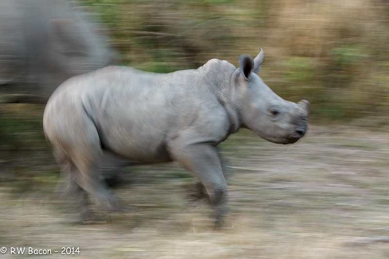 Baby Rhino Blur.jpg