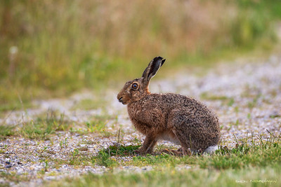 Hare (Mountain Hare)