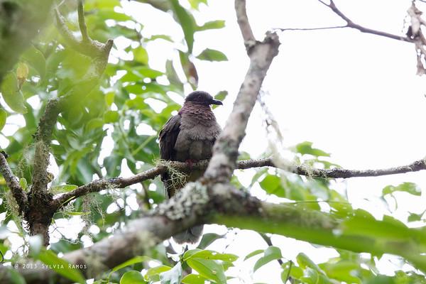 Amethyst Brown Dove