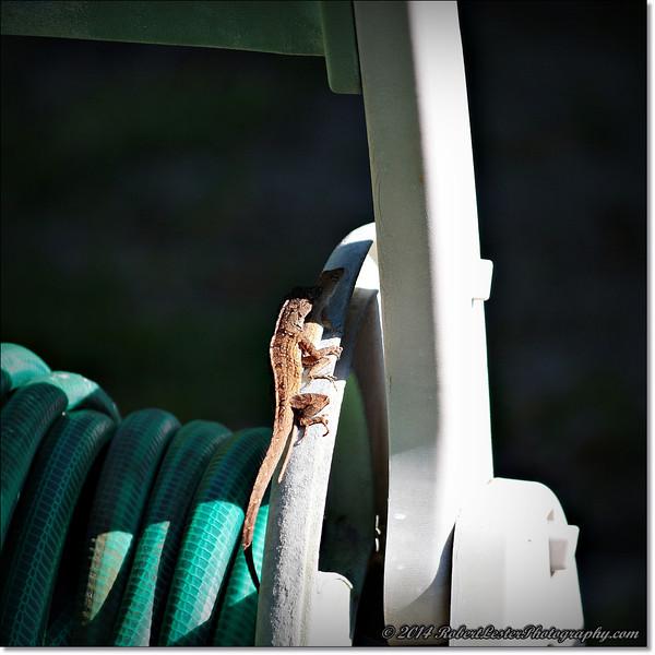 2014-06-06_IMG_0836__Anole Lizard,Clearwater,Fl..JPG