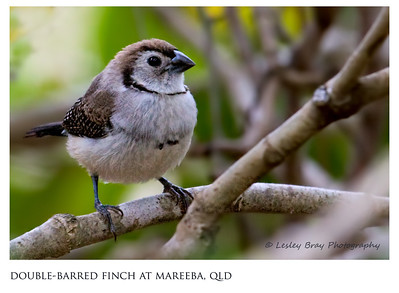 Finches, firetails and waxbills