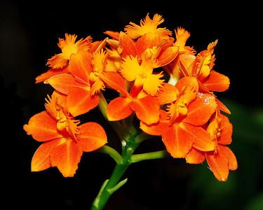 Orchids E-O